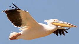 Pélican blanc