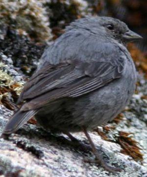 Phrygile gris-de-plomb