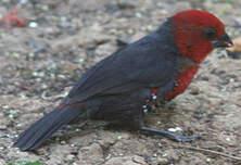 Sénégali à tête rouge