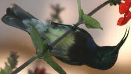 Souimanga malgache
