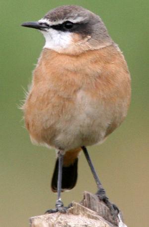Traquet à poitrine rousse