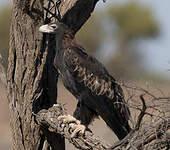 Aigle d'Australie