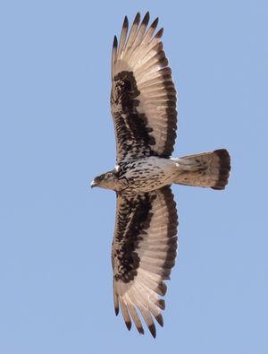 Aigle fascié