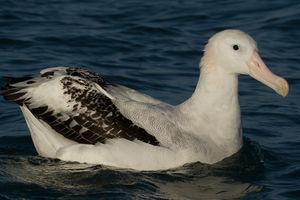 Albatros des Antipodes