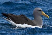 Albatros des Chatham