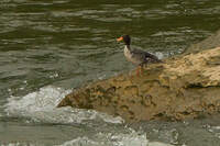 Canard de Salvadori