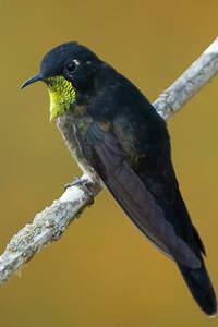 Colibri à dos noir
