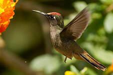 Colibri à tête rose