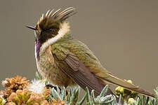 Colibri fauve