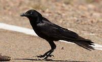 Corbeau du désert