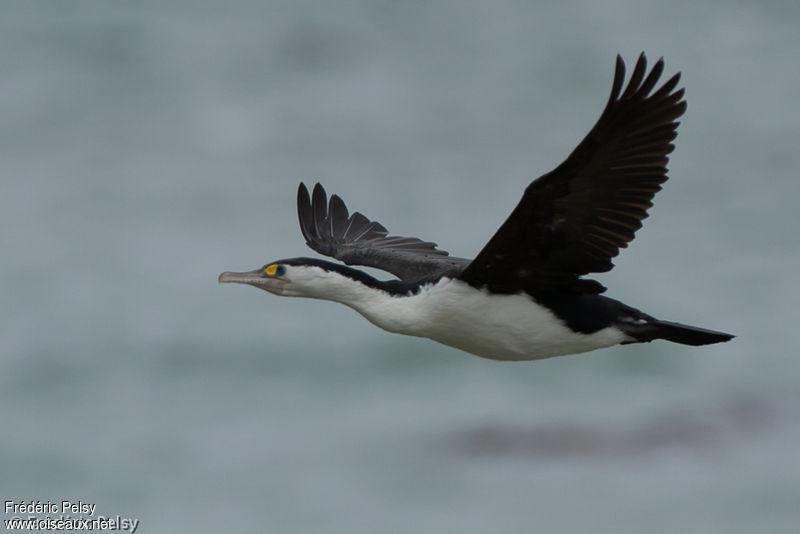 cormoran vari u00e9 adulte