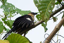 Coucal atralbin