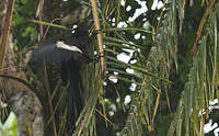 Coucal goliath