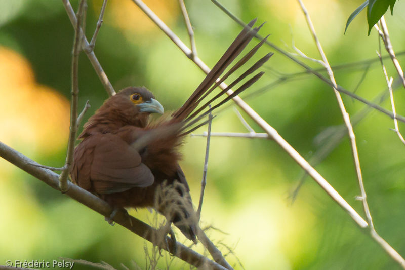 http://www.oiseaux.net/photos/frederic.pelsy/images/coucal.roux.frpe.1g.jpg