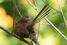 Coucal roux