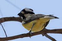 Falconelle à casque
