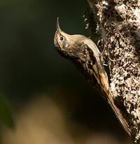 Grimpereau discolore