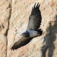 Buse aguia