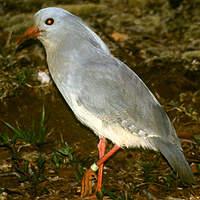 Kagou huppé