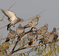 Pigeon d'Eversmann