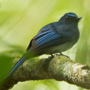 Rhipidure bleu