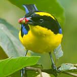 Tangara à nuque jaune