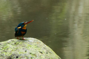 Martin-pêcheur à poitrine bleue