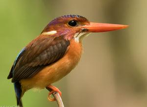 Martin-pêcheur multicolore