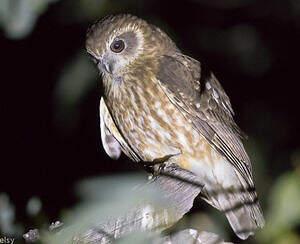 Ninoxe d'Australie