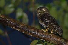 Ninoxe des Philippines