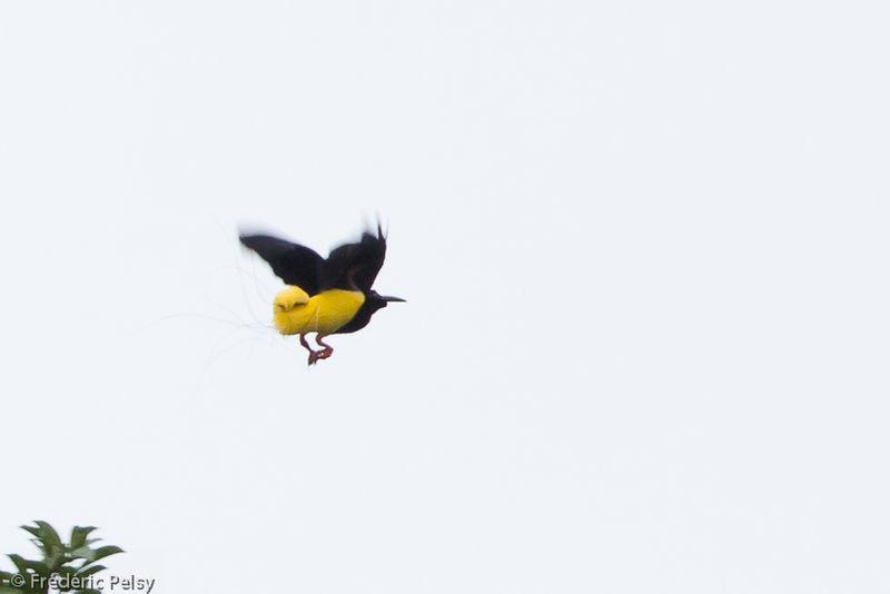 Twelve-wired Bird-of-paradise - Seleucidis melanoleucus male adult ...
