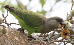 Perroquet à tête brune