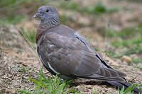 Pigeon ramier