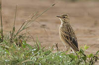 Pipit africain