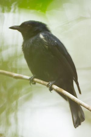 Piquebaie noir