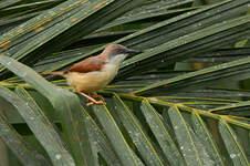 Prinia à ailes rousses