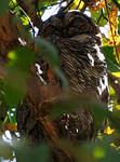 Chouette ocellée