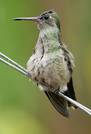 Colibri de Cuvier