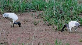 Ibis à tête noire