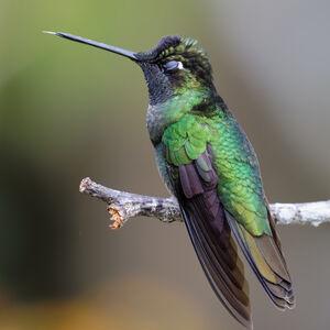 Colibri admirable