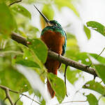 Jacamar à queue rousse