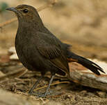 Pseudotraquet indien