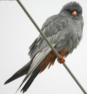 Faucon kobez