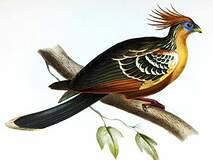 Opisthocomiformes