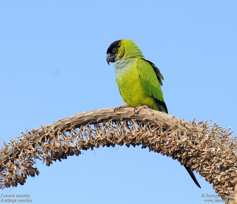 Conure nanday adulte