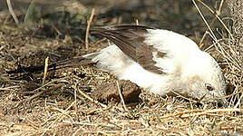 Cratérope bicolore