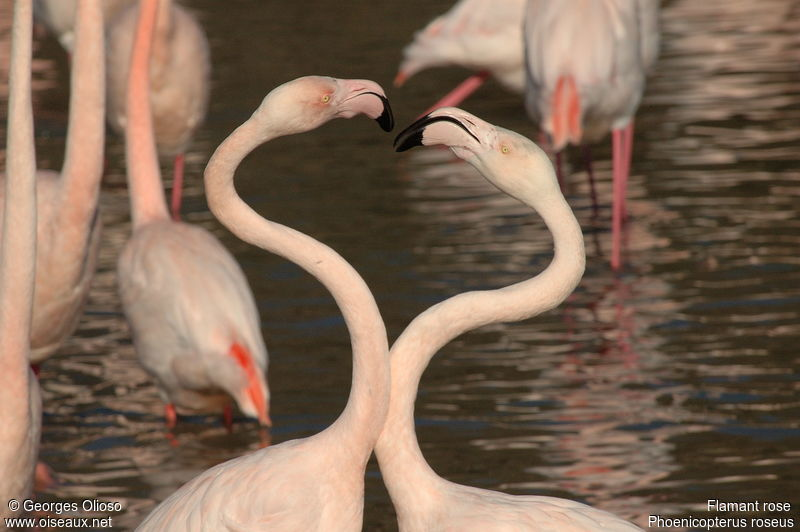 Flamant rose adulte nuptial