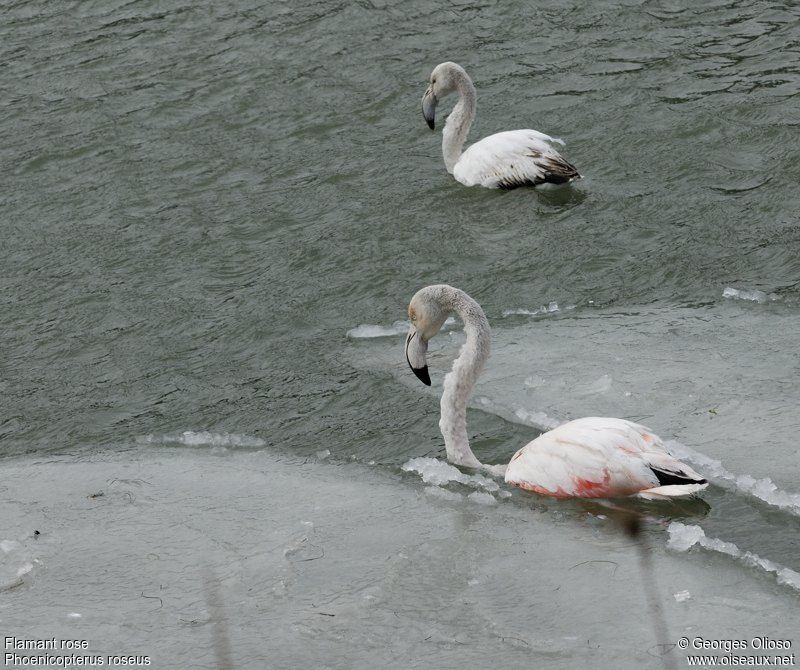 Flamant rose , identification, Comportement