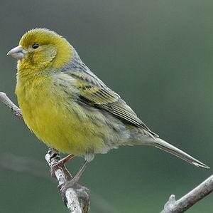 Serin des Canaries