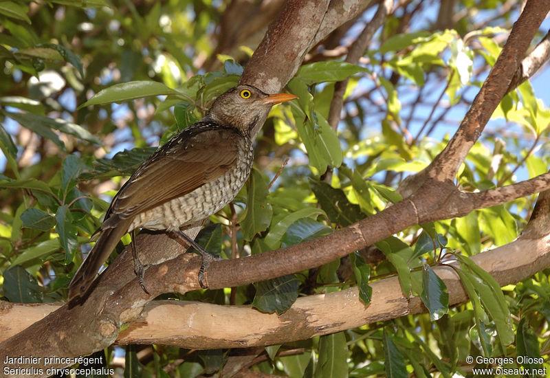 Jardinier prince r gent femelle adulte nuptial ref geol39564 for L oiseau jardinier